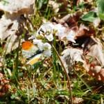 cardaminetpapillon2